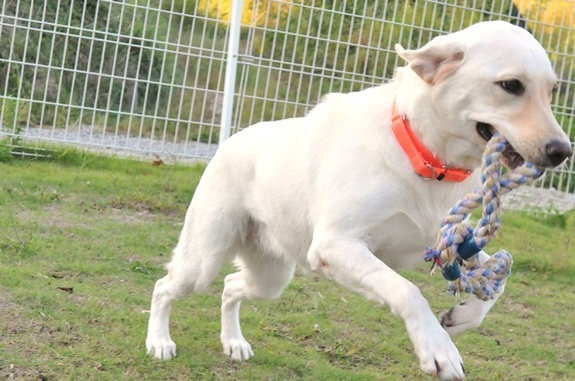 訓練犬は、Dog Runで走り回ることが大好き