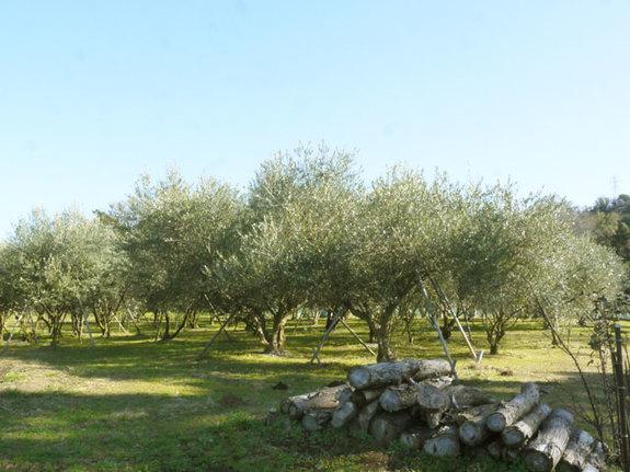 栽培開始して10年以上のユニバーサル農場さんのオリーブ畑
