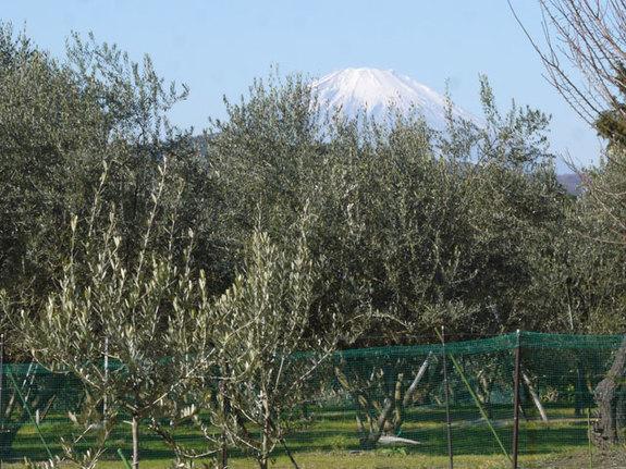 青い海が似合うけど、二宮から見るオリーブと富士山も素敵です♪