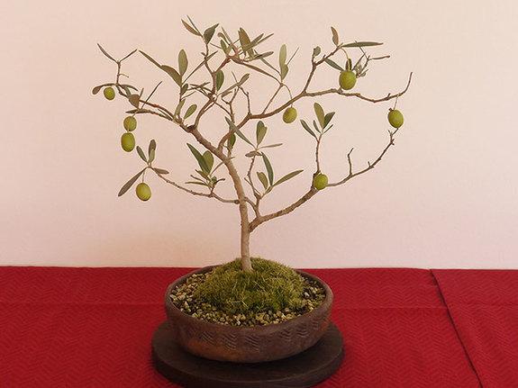 オリーブの盆栽『サウスオーストラリアベルダル』