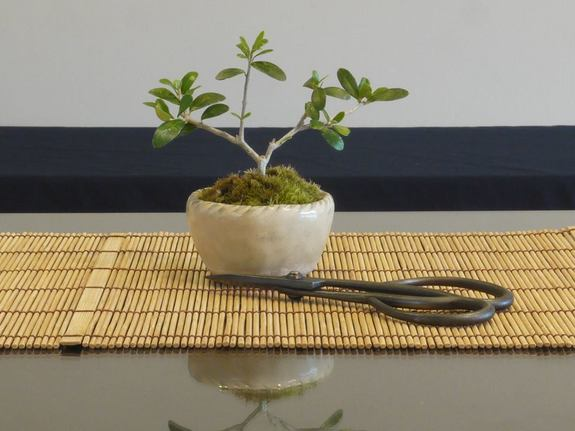 実生オリーブのミニ盆栽