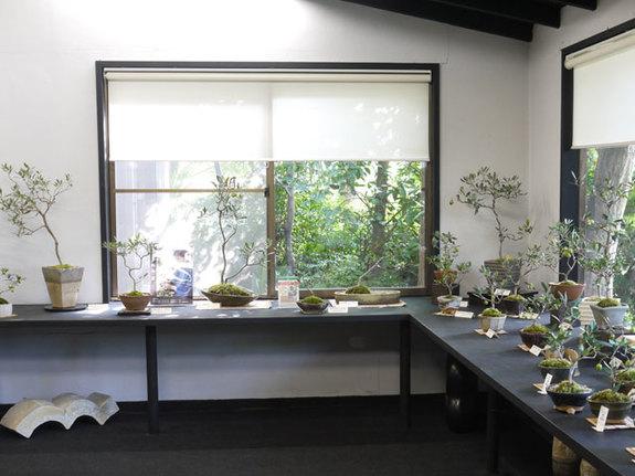 2014年10月東京玉川学園のシルクギャラリーさんでの「第二回 オリーブの盆栽展」での展示の模様