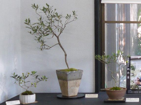大小さまざまな作風のオリーブの盆栽達。2015年10月撮影