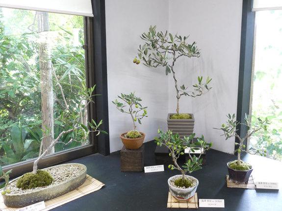 秋の展示会では実付のオリーブの盆栽をご覧いただけます。