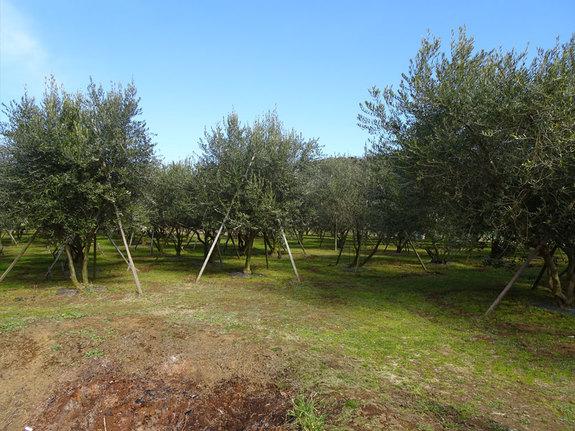 湘南オリーブの聖地・二宮のゆにぼーサル農場さんのオリーブ園