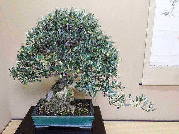 TVで一億円の盆栽で有名な小林圀男先生が館主の東京江戸川区にある春花園盆栽美術館のオリーブの盆栽