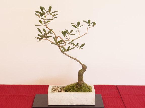 教科書通りの作品ではなく、作者の個性が作風に現れる。そんなオリーブの盆栽達