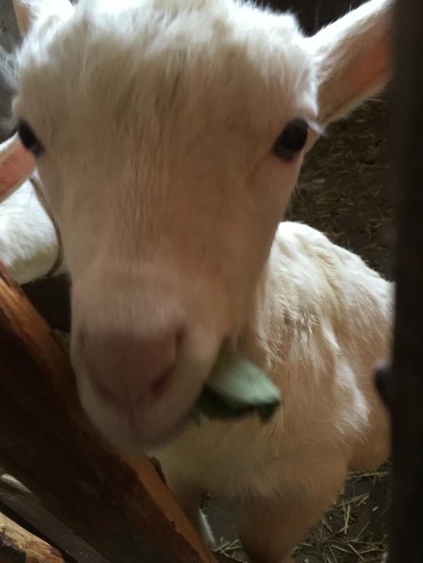 この春生まれた子やぎです。クマザサにトライ!