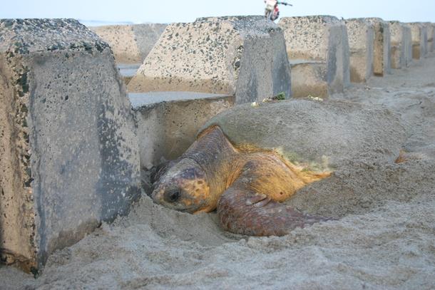 ブロックに行く手を阻まれるウミガメ