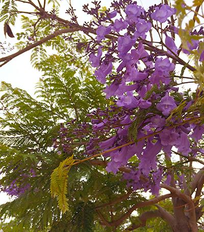 Jacarandaの花が咲き始めました。
