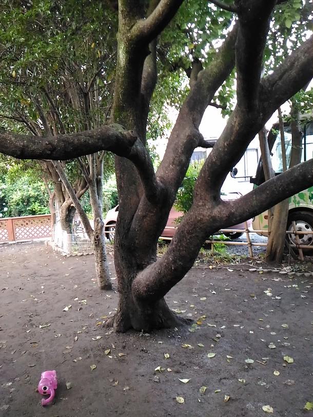杏の樹 40歳
