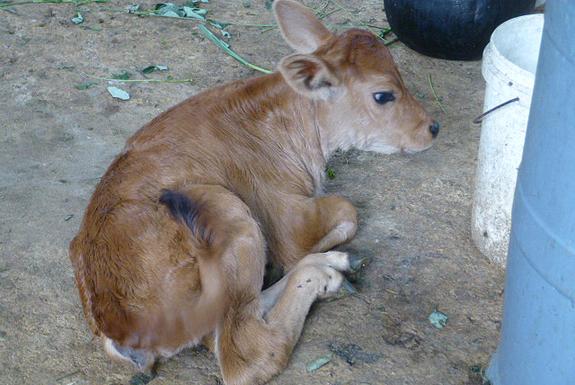写真は出産後1週間ですが、すでに元気に茶畑の中を飛び回っていました。