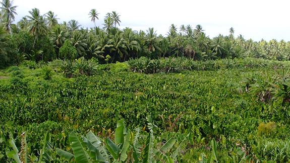 ニウタオ島の巨大なタロイモ畑