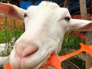 長野県ばんどこ地区活性化に向け!山羊乳を使った新商品開発へ!
